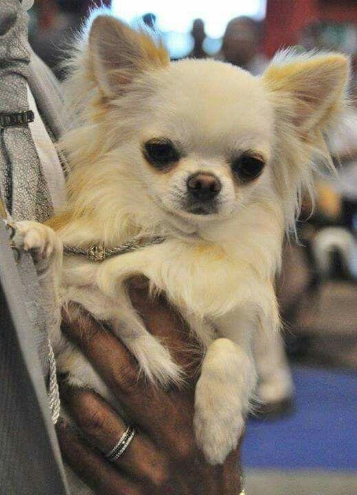 Good Morning Chihuahua Hunde Hund Chihuahua