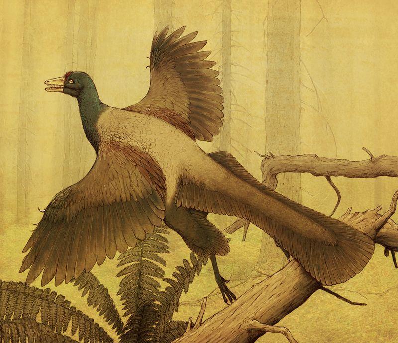 Archaeopteryx by =Apsaravis on deviantART