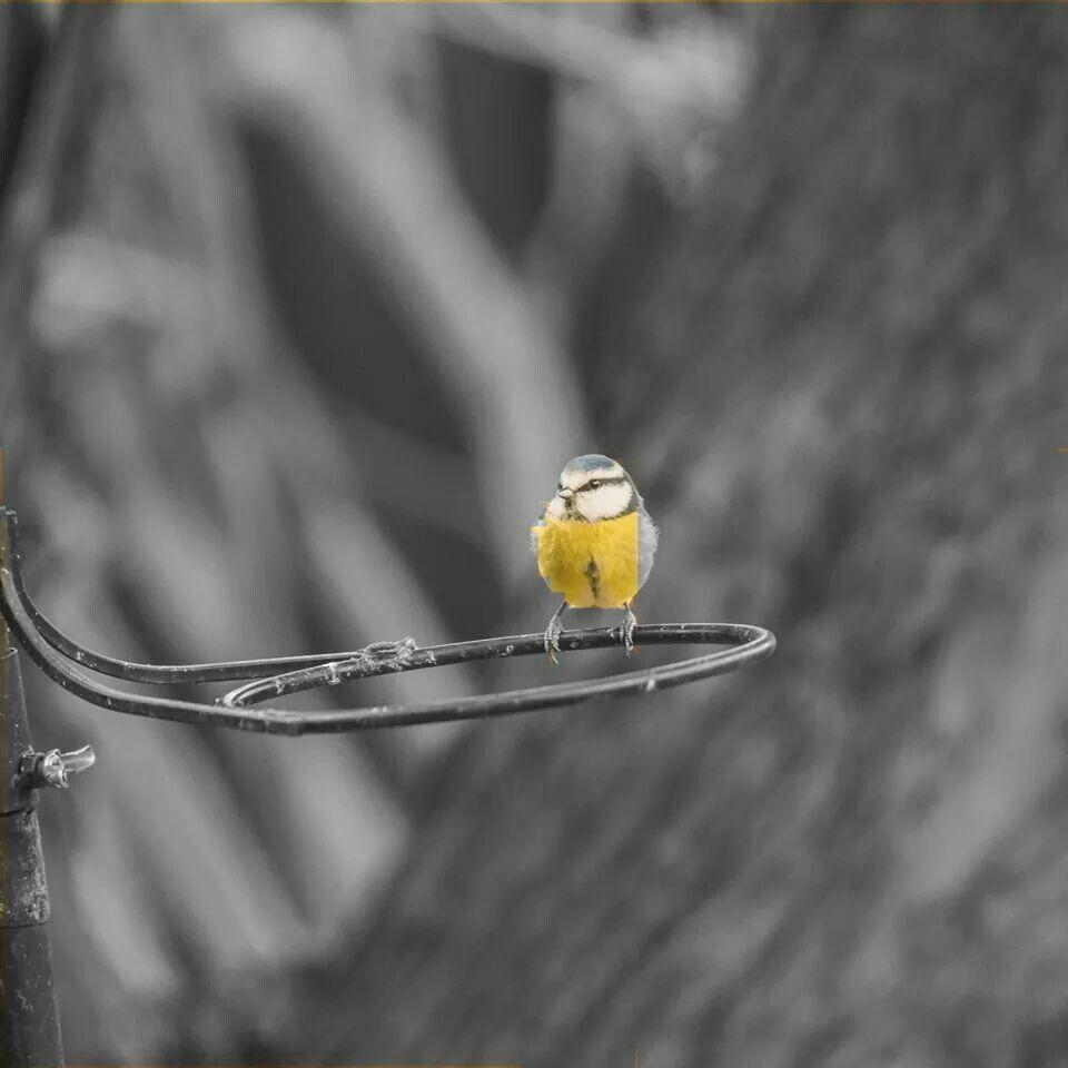 Garden Birds.