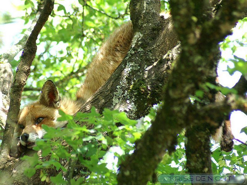http://faaxaal.forumgratuit.ca/t1718-photos-de-mammiferes-renard-roux-renard-commun-vulpes-vulpes-red-fox  Photos gratuites et libres de droits de mammifères : Renard roux - Renard commun - Vulpes vulpes - Red fox    Faune de France - Animaux d'Europe - Canidés européens - Mammifères du Québec  Photos de renards dans le Domaine Public