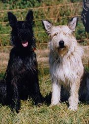 Berger Picard Dog Photo Berger Picard Present Your Dog In Our Photo Album Dogs Best Dogs