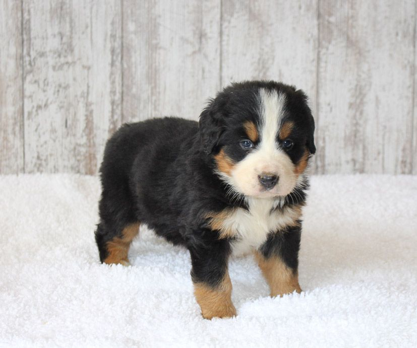 Angel Akc Bernese Mountain Dog Puppy For Sale In Harlan In
