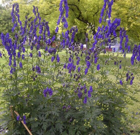 Common Purple Garden Flowers aconitum 'spark's variety' monk's head flower flowering period
