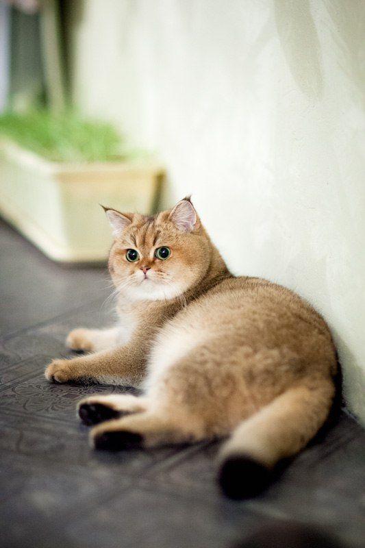 Myata Cats Bri Cats British Shorthair Ny 25 British Golden Cat Golden Ticked Cat Golden Shaded Cat Cute Cats And Kittens Cute Cats Cats And Kittens