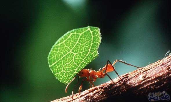 النمل الكادح يحافظ على بيئة الغابات المطيرة Plant Leaves Plants Leaves