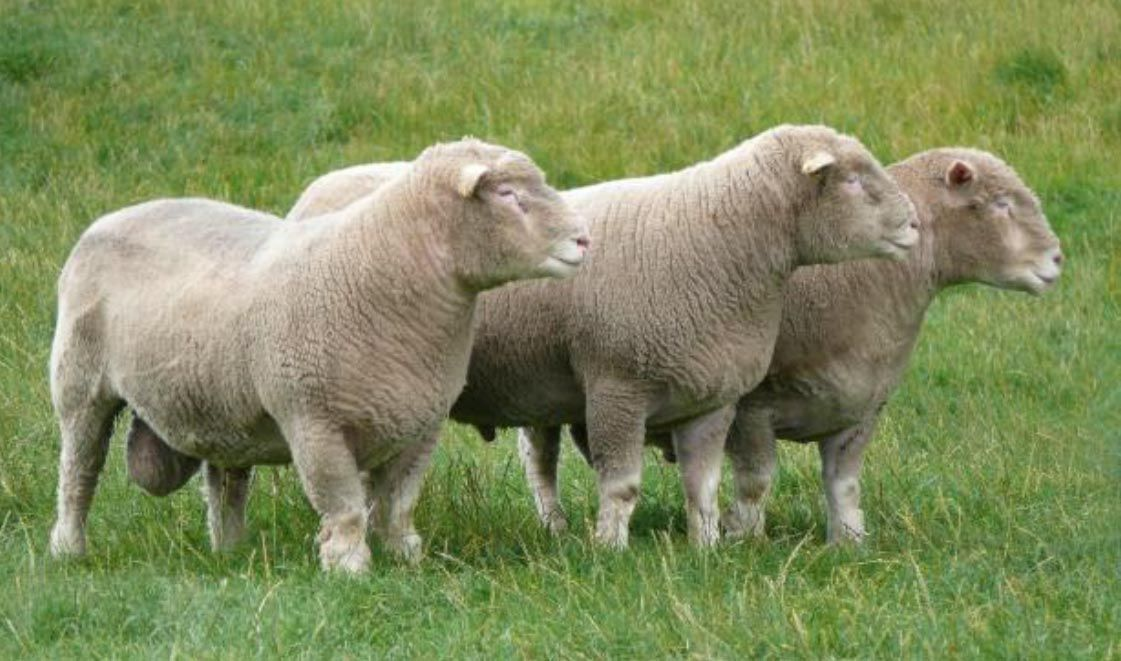 The Dorset Horn Sheep Breeders' Association | Dorset Sheep | Poll