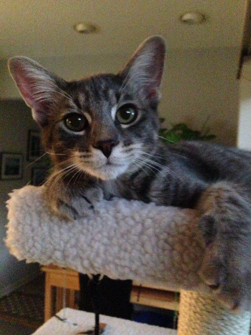 Pippen the Kitten