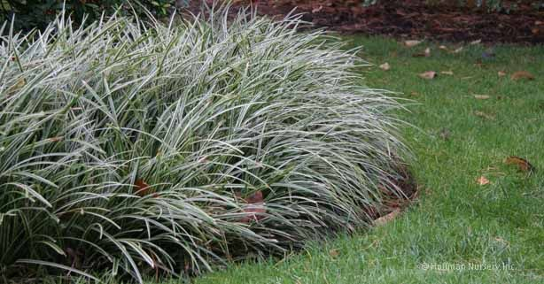 carex morrowii ice dance star plant selections groundcovers pinterest ice dance plants. Black Bedroom Furniture Sets. Home Design Ideas