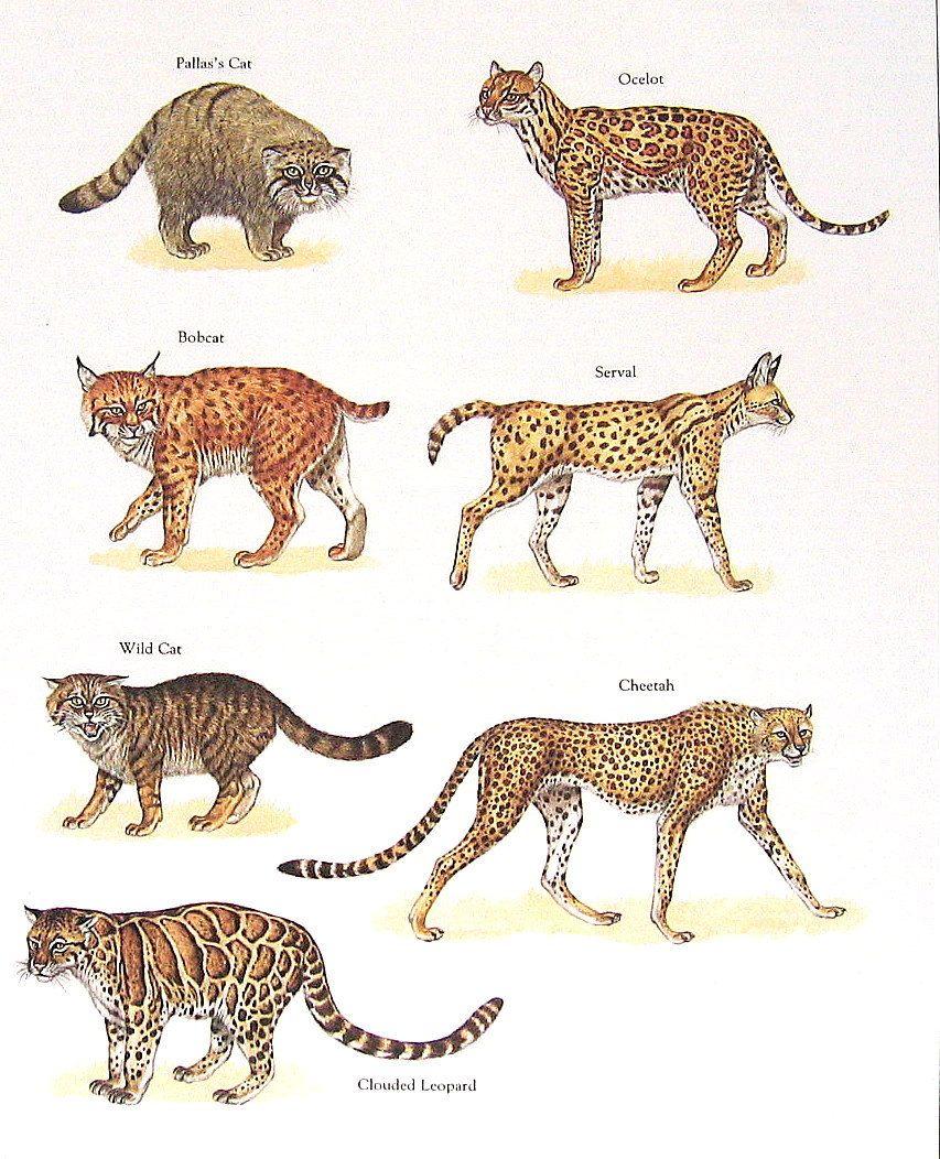 Pallas Cat Bobcat Wild Cat Cheetah Ocelot Etc Vintage 1984 Fish Book Plate Risunki Zhivotnyh Eskizy Zhivotnyh Bolshie Koshki