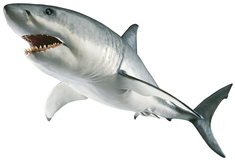 Shark PNG | Great white sharks two | Pinterest