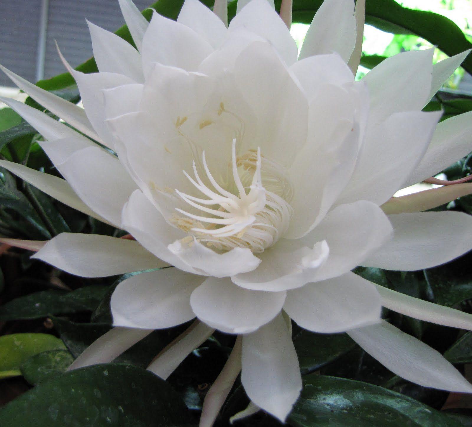 Flowers unique flowers beautiful flowers orchid cactus cactus flower - The Biggest Plant Dictionary Epiphyllum Oxypetalum