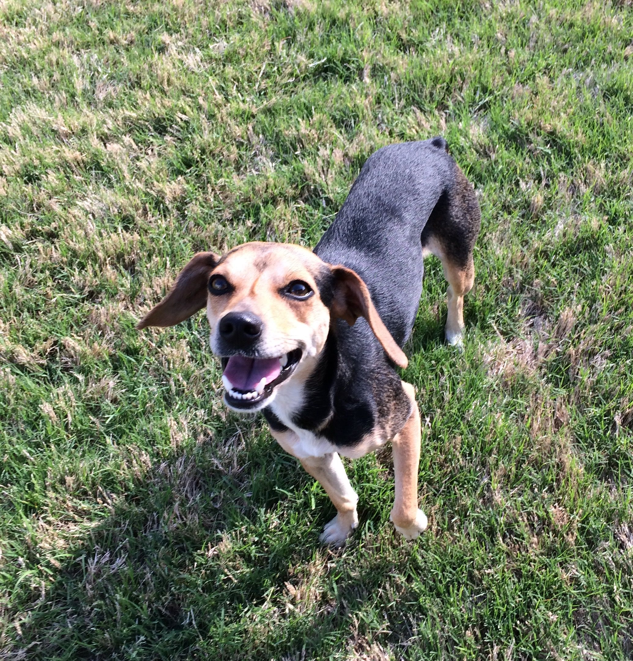 Beagle dog for Adoption in McKinney, TX. ADN515073 on