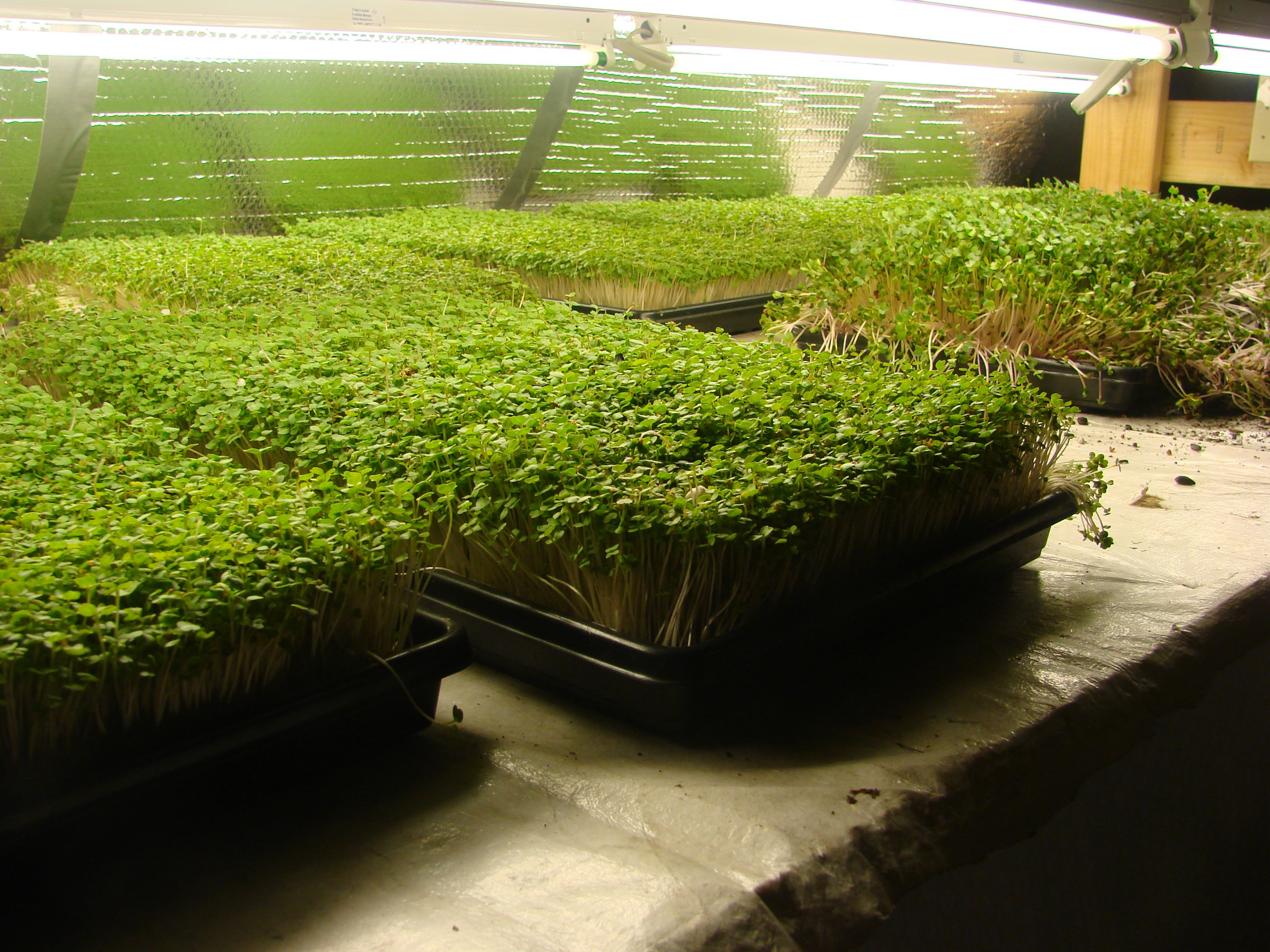 Growing and Selling Microgreens: An Example of an Urban