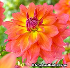 Semi-Dinnerplate Dahlia Fire Pot .  With some of the brightest blooms in the garden, this dahlia has water lily-like flowers in spectacular shades of pink and yellow. Amazing in bouquets.