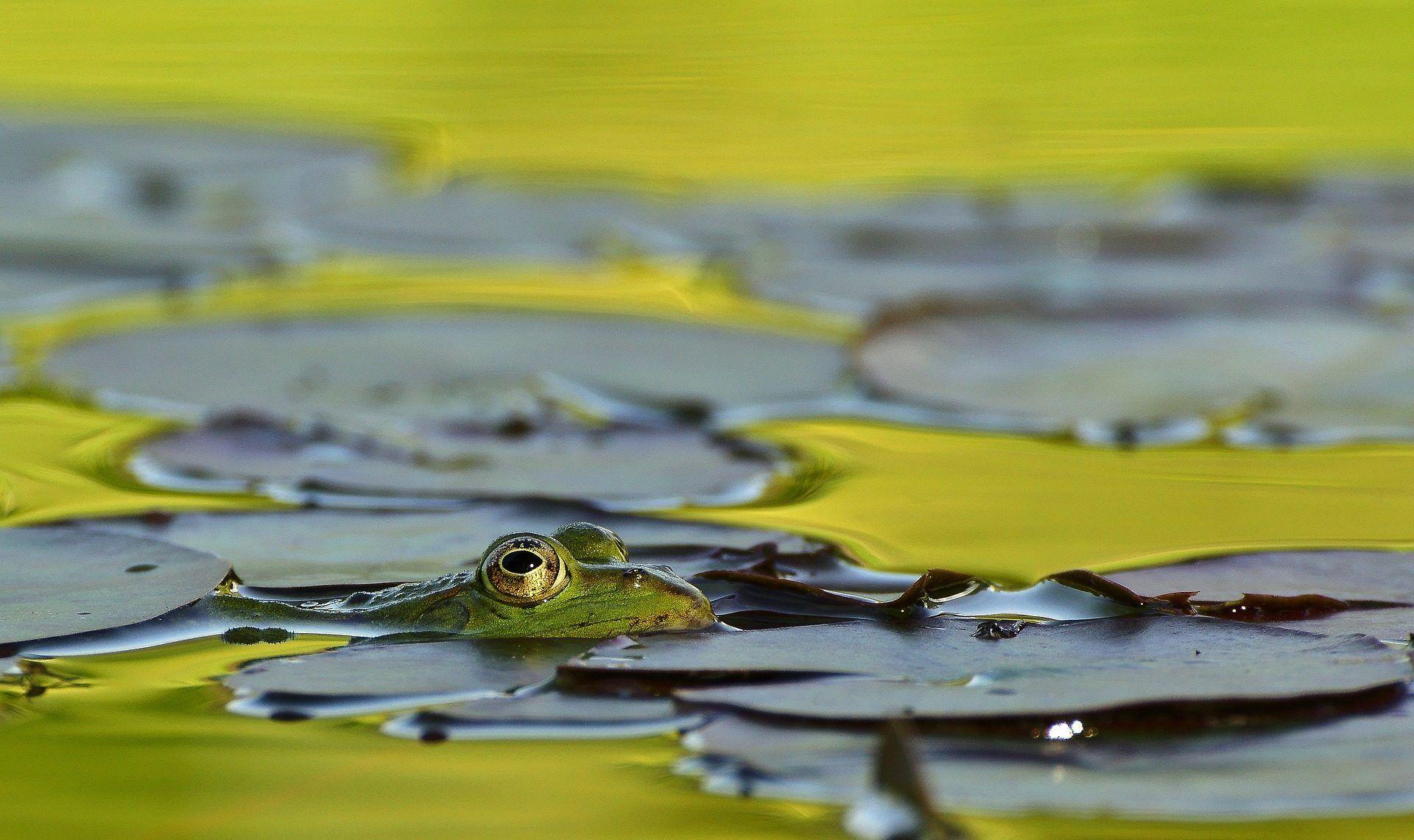 rana, lago, estanque, nenúfares, agua, ojos, 1708171406   Fondos de ...