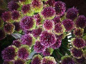Drumstick Allium Wholesale Flowers Flowers Flower Names