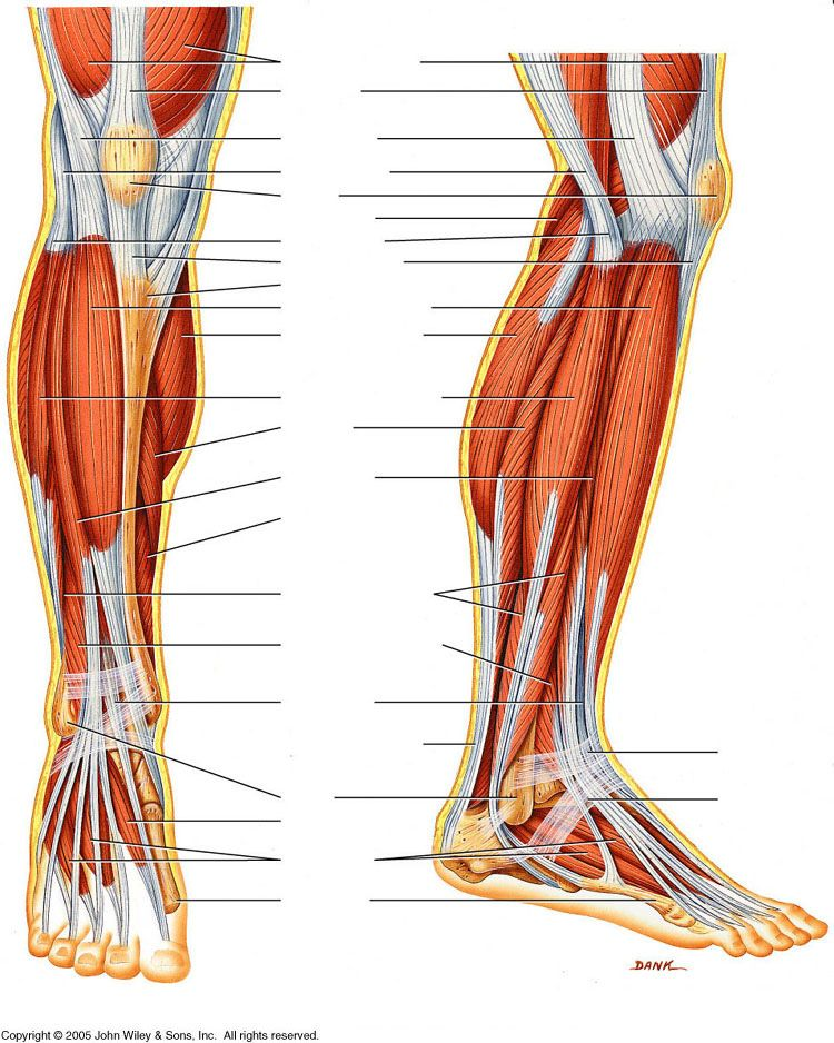 human-leg-muscles-diagram | anatomy for artists ... unlabeled leg diagram