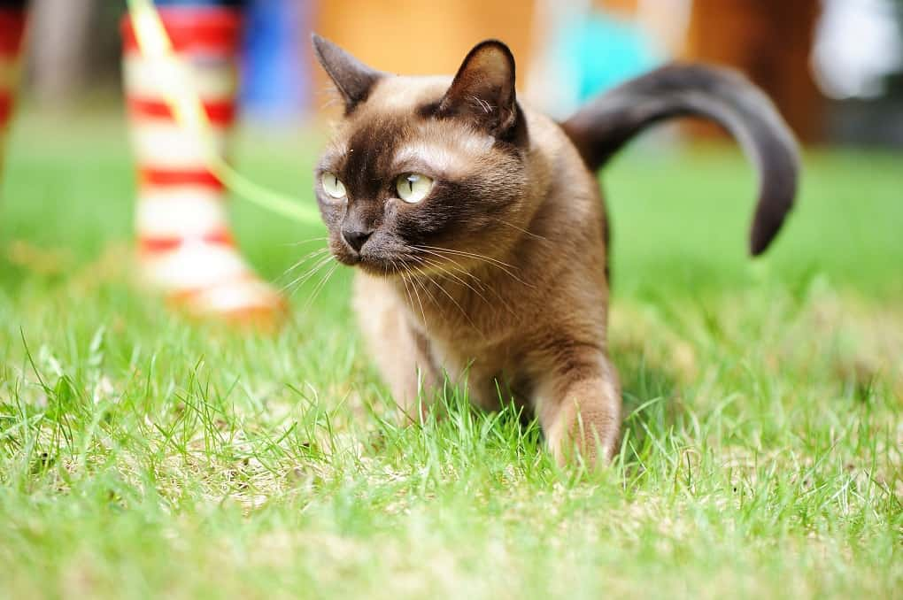 European Burmese The Ultimate Guide To Their History Types Characteristics Temperament And Care Cat Breeds Cute Puppies And Kittens Most Popular Cat Breeds
