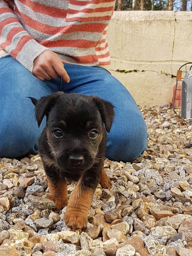 Puppies For Sale For Sale In Camborne Cornwall Border Terrier