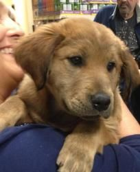 Adopt Puppy 3 On Dogs Golden Retriever Puppies Dogs