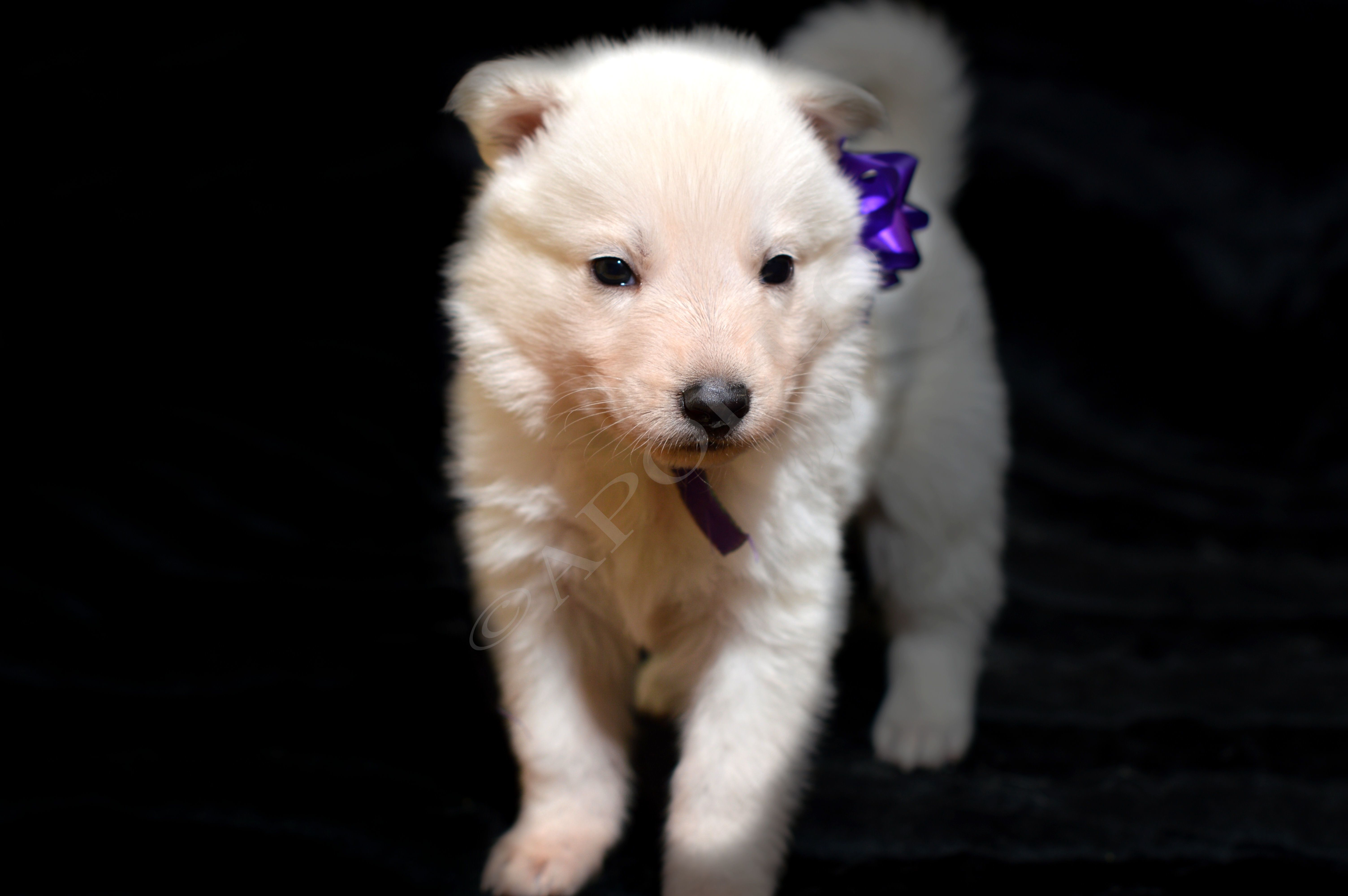 White german shepherd puppies price