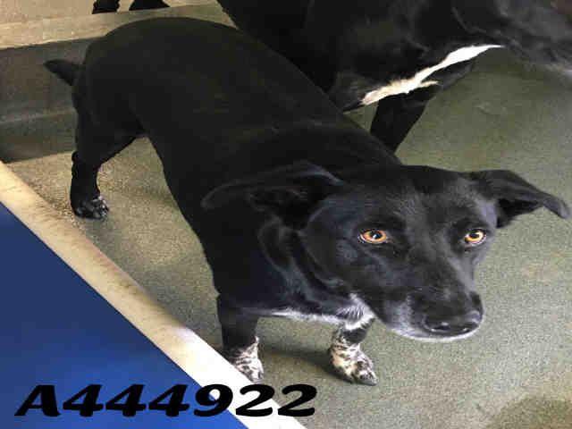 Border Collie Dog For Adoption In San Antonio Tx Adn 619834 On