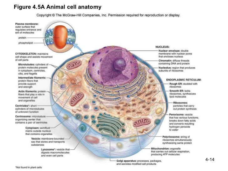 e08901ac8290971028198cc99a954f15 animal cell analogy ash pinterest animal cell, cell structure
