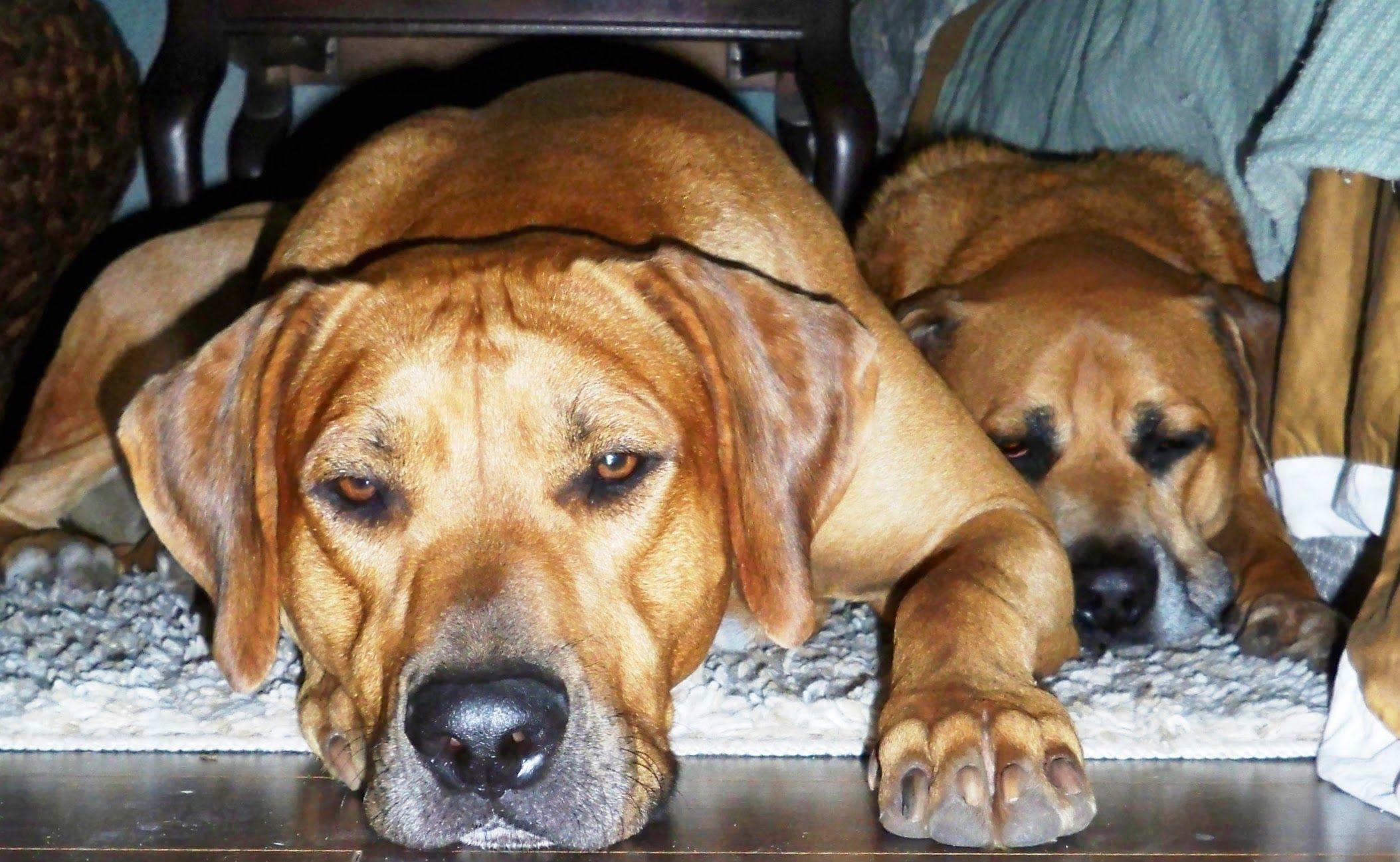 Let Sleeping Dogs Lie Rovers Ridgebacks Sleeping Dogs