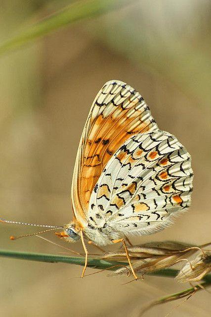 All sizes | Melitaea phoebe - Knoopkruidparelmoervlinder | Flickr - Photo Sharing!