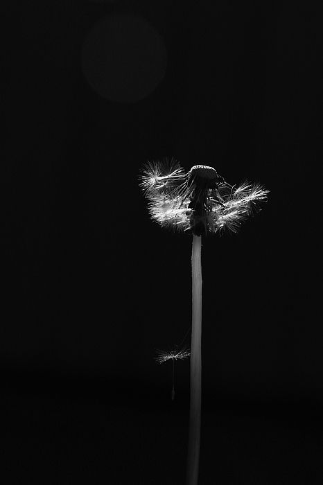 Dandelion Gone to Seed on Black by Brooke T Ryan