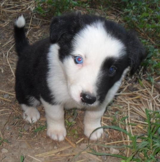 Border Collie Puppy I Love The Half White Face And The Blue Eyes