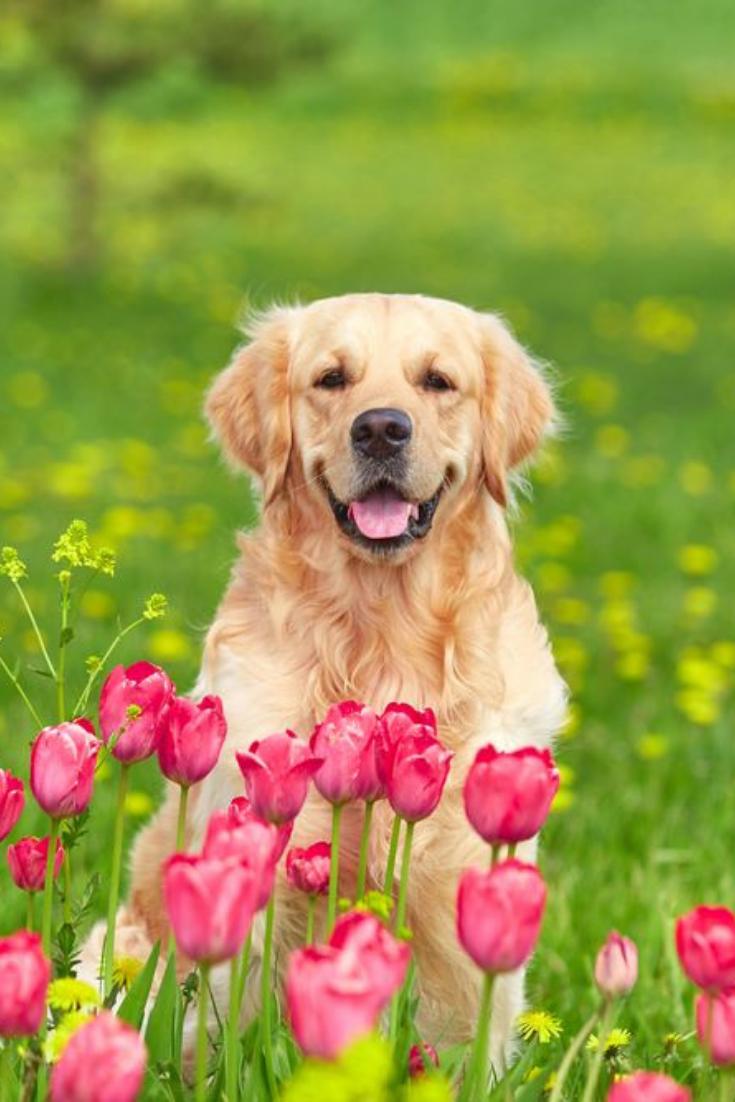 Golden Retriever Sitting In Tulip Flower Fields Goldenretriever In 2020 Golden Retriever Retriever Puppy Retriever