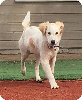 Golden Retriever English Setter Mix Puppy For Adoption In Carlsbad
