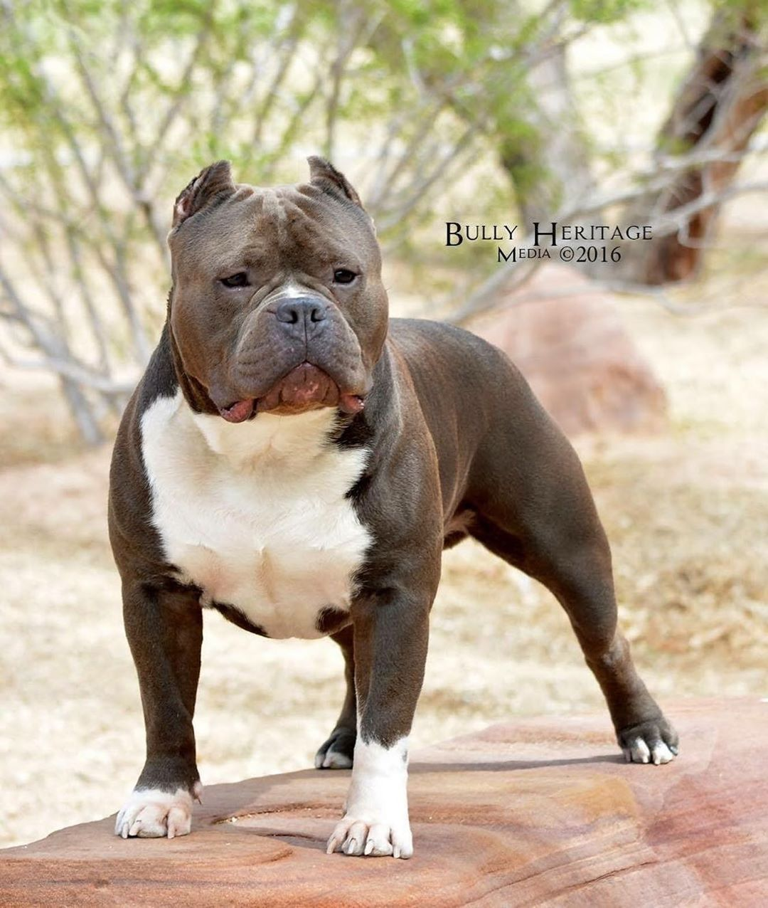American Bully Image By Robert Saenz On American Bully In 2020