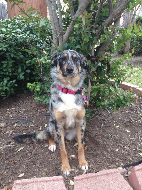 Adopt Callie on Heeler puppies