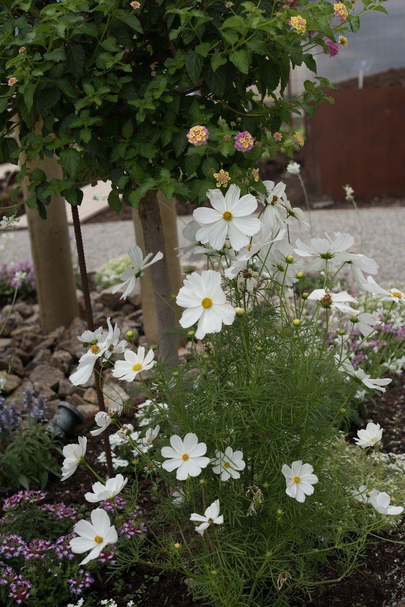 Cosmea Im Garten Schmuckkorbchen Richtig Pflanzen Und Pflegen Uberrascht Wenn Du Deine Cosmeen Gezielt Vermehren Und Etwa Sechs Wochen Fruher Im Garten Bew 2020