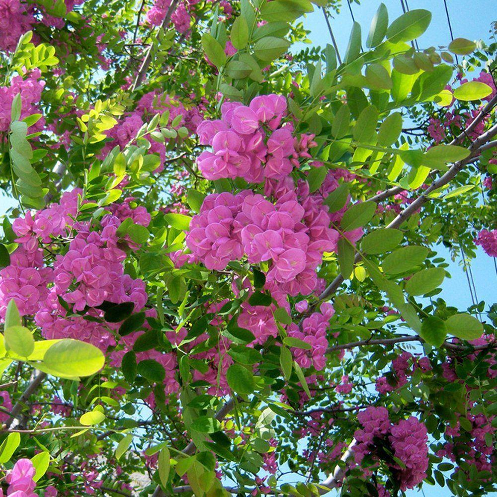 Robinia Pseudoacacia Hispida Rose Acacia Trees Are A Small Shrub