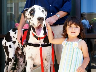 Great Dane Bentley A Service Dog Strives For A Guinness World
