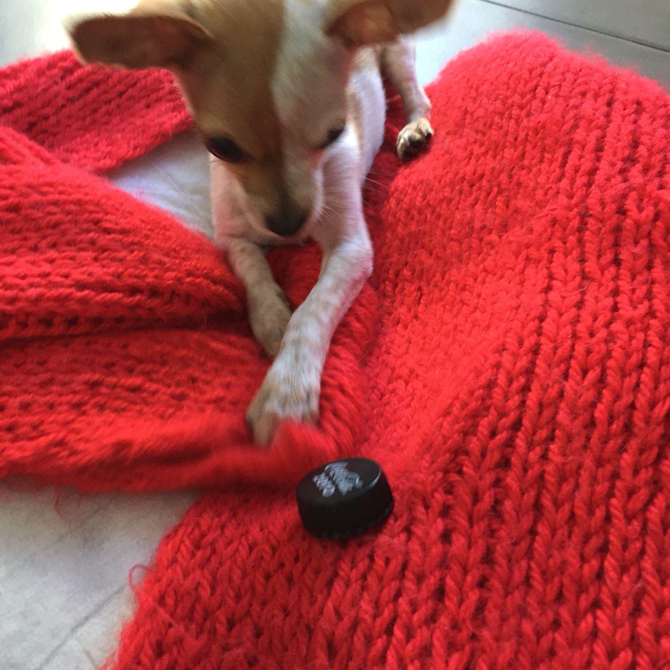 Chihuahua Sam