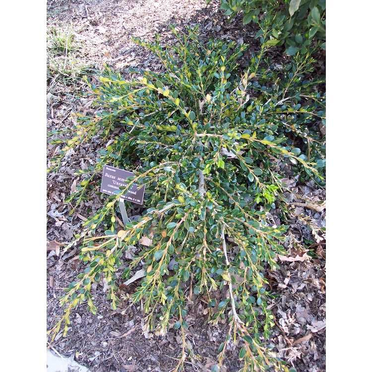 Buxus Sempervirens Unraveled Common Boxwood Buxus