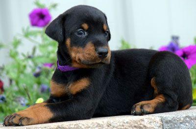 Doberman Pinscher Dog Breed Information Doberman Doberman