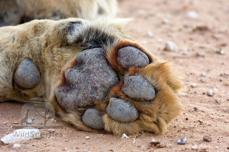 Lion Paw Underside View Of A Male Lions Front Paw Wild Scenics