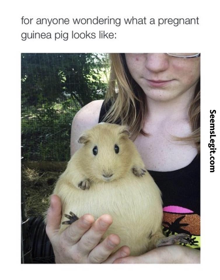 Animal memes Pregnant guinea pig | Animal Memes