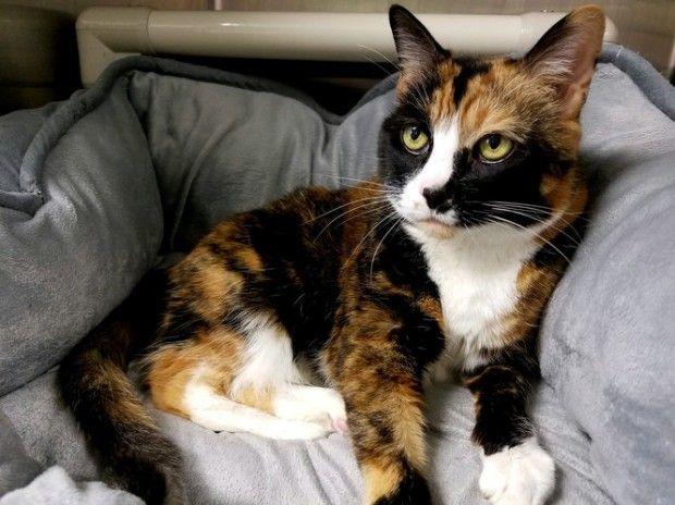 Calico Cat Needs A Home Calico Cat Animals Beautiful Cats