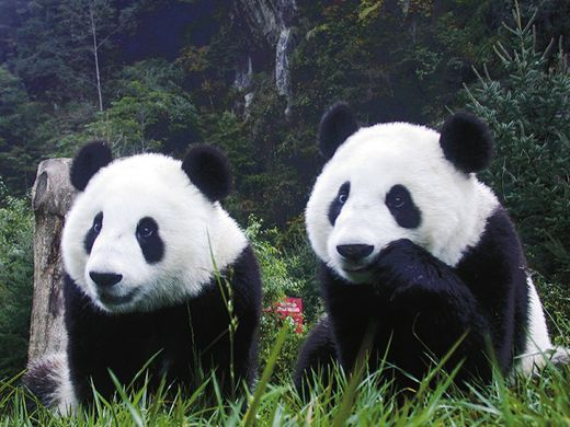 El oso panda tiene su orígen en España