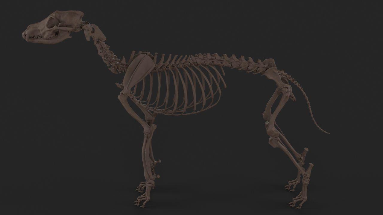 Wolf Skeleton   3D model   Skeletons, Wolf and Skeleton anatomy