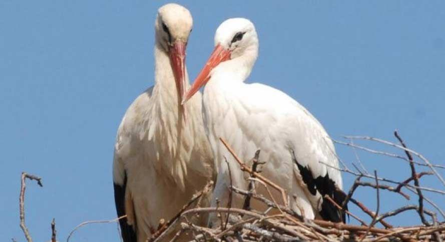 ¡La increíble historia de amor entre dos cigüeñas!