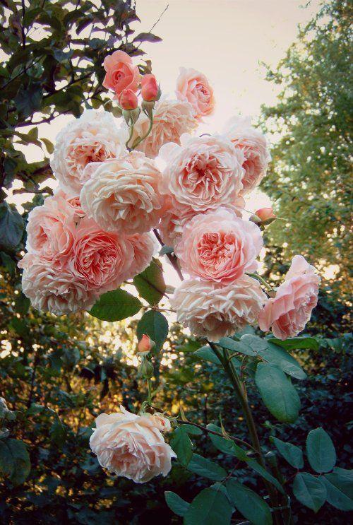 floral, flowers, rose, roses