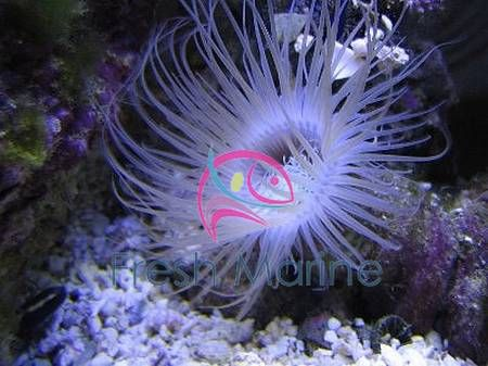 Tube Anemone Ceranthus Membranaceus Buy Cheap Cerianthus Anemone At Wholesale Anemone Sea Anemone Salt Water Fish