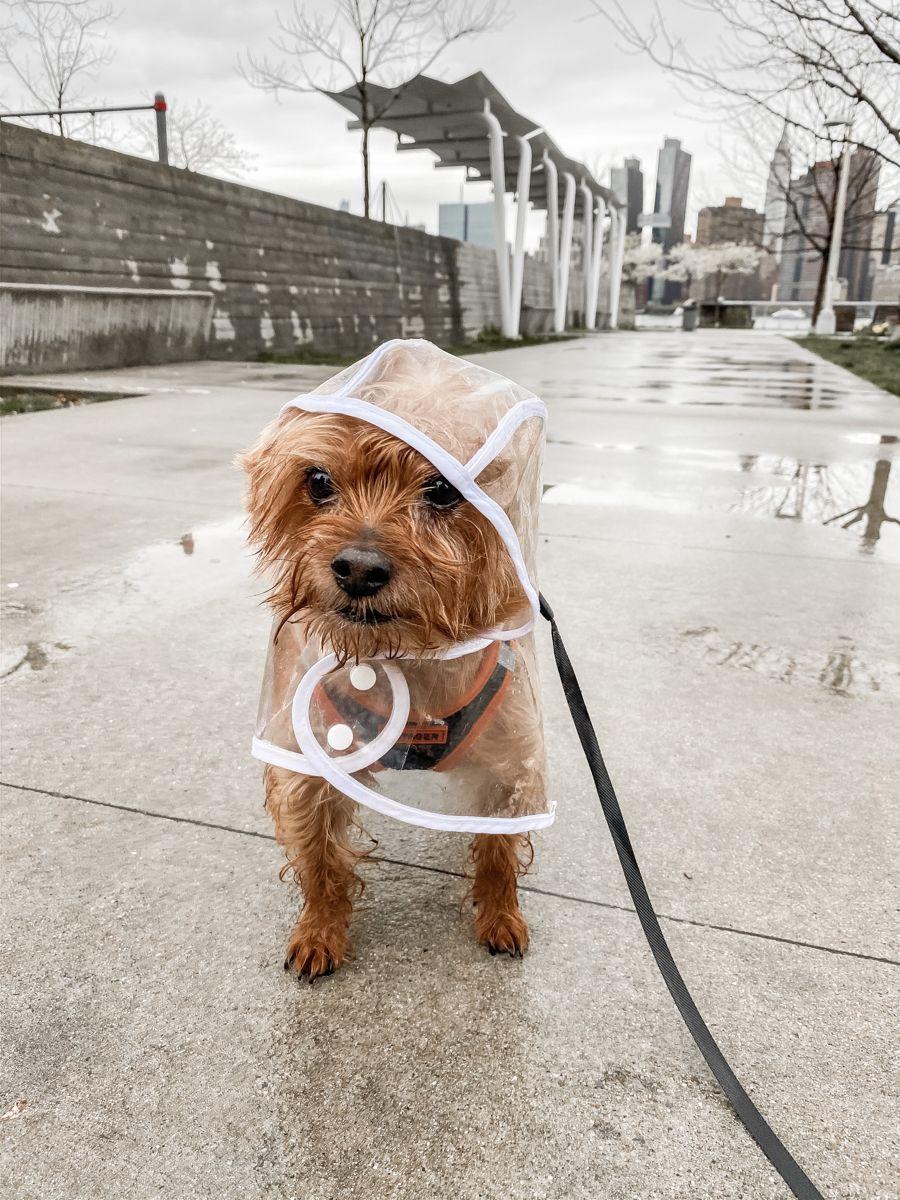 Dogs clothes ☔️#raincoat  #dogs#dogsofinstagram#yorkiesofinstagram#puppy#cute#adorable#yorkie#weeklyfluff#buzzfeedanimals#cutedog#dog#WHPpetproject#petsofinstagram#dogmodel#cutepetclub#cutestdogever#bestwoof#dailyfluff#dogsofla#barkpost#teampixel#puppies#dogfriends#animalsoninstagram #puppiesofinstagram#smallbreed#tinydog#maleyorkie#aww#pets
